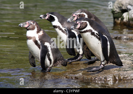 Group Of Humboldt Penguins Spheniscus humboldti About To Dive Into Water - Stock Photo
