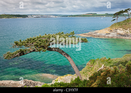 Pine tree on Carricknath Point, overlooking Carrick Roads towards Falmouth, Cornwall, England. Spring (May) 2011. - Stock Photo
