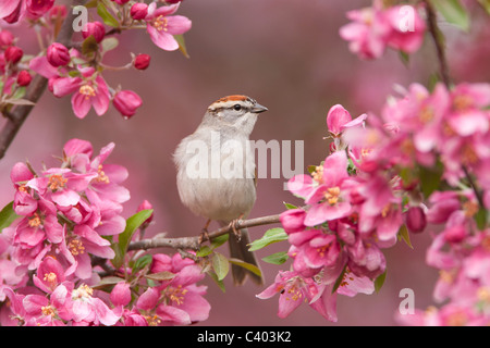 Chipping Sparrow perched in Crabapple Tree Blossoms - Stock Photo