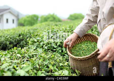 Closeup of farmer picking tea leaves in a tea garden. - Stock Photo