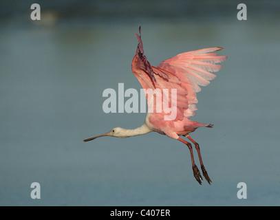 Roseate Spoonbill in flight, Sanibel Island, Florida - Stock Photo