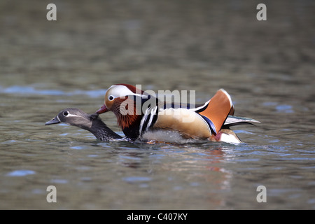 Mandarin duck, Aix galericulata, male and female mating on water, Midlands, April 2011