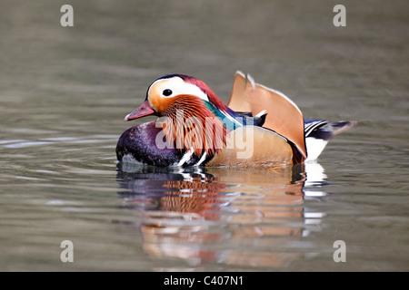 Mandarin duck, Aix galericulata, single male on water, Midlands, April 2011 - Stock Photo