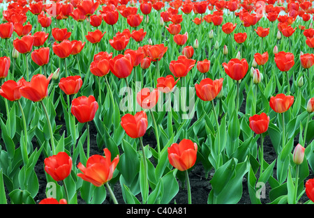 Many Red Tulips on Meadow - Stock Photo