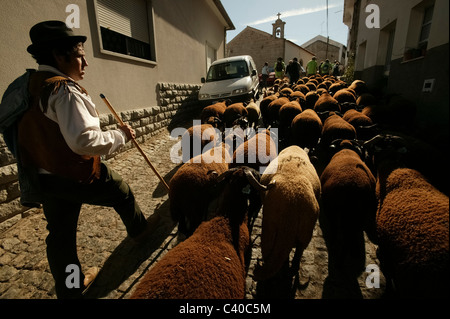 Shepherd guiding flock of sheep through the streets of a village in Portugal - Stock Photo