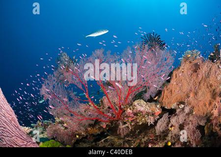 Sea Fan in Coral Reef, Melithaea sp., Wakaya, Lomaiviti, Fiji - Stock Photo