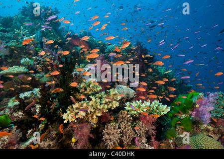 Lyretail Anthias in Coral Reef, Pseudanthias squamipinnis, Namena Marine Reserve, Fiji - Stock Photo