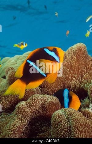 Orange-fin Anemonefish, Amphiprion chrysopterus, Namena Marine Reserve, Fiji - Stock Photo