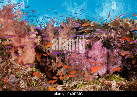 Colorful Coral Reef, Makogai, Lomaviti, Fiji - Stock Photo