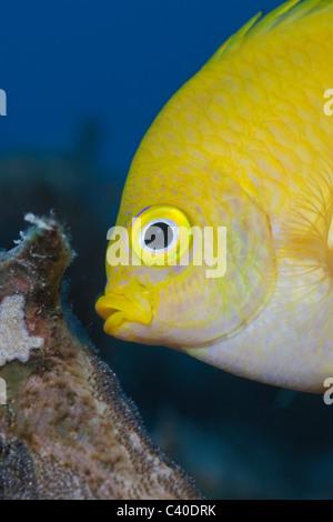 Golden Damsel cleaning Brood, Amblyglyphidodon aureus, Namena Marine Reserve, Fiji - Stock Photo