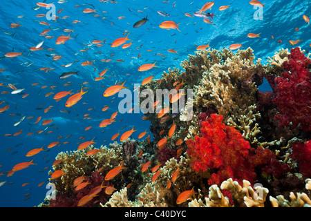 Lyretail Anthias in Coral Reef, Pseudanthias squamipinnis, Gau, Lomaiviti, Fiji - Stock Photo