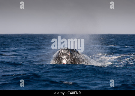 Humpback Whale breathing, Megaptera novaeangliae, Silver Bank, Atlantic Ocean, Dominican Republic - Stock Photo