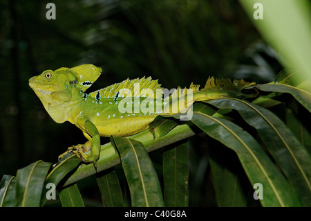 lizard, lizards, basilisc, plumed basilisc, Jesus Christ lizard, Basiliscus plumifrons, reptile, reptiles, scale, - Stock Photo