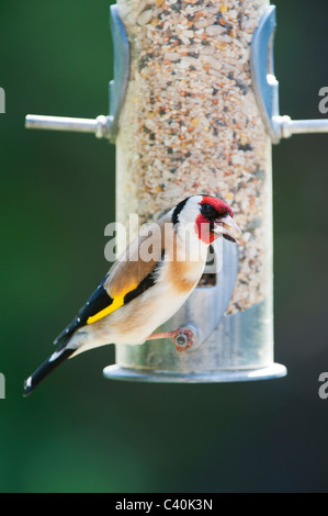 Goldfinch on bird seed feeder in spring. UK - Stock Photo