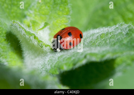 Ladybird on a leaf - Stock Photo
