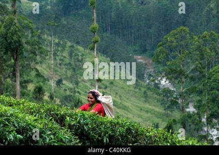 Female tea picker on hillside St. Clair Tea Estate Talawakele Central Highlands Sri Lanka - Stock Photo