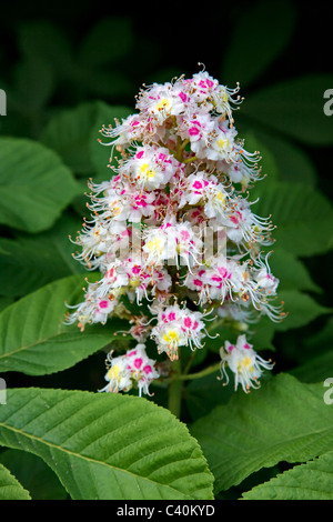 Colourful flower spike and leaves of Horse Chestnut tree Aesculus hippocastanum in spring - Stock Photo