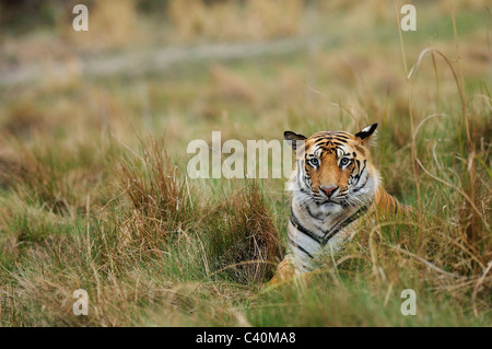 Sub-adult male Royal Bengal Tiger sitting in grassland in soft evening light in Bandhavgarh Tiger Reserve, India - Stock Photo