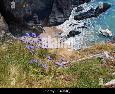 Sheep's Bit Jasione montana in typical maritime habitat on a steep cliff edge on the north Devon coast - Stock Photo