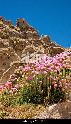 Thrift Armeria maritima growing on a sea cliff  in Devon - Stock Photo