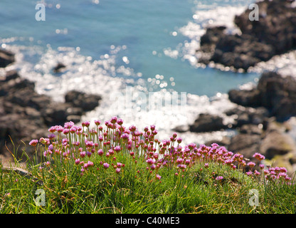 Thrift Armeria maritima growing on a sea cliff edge in Devon - Stock Photo
