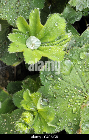 Water beading on Alchemilla mollis leaves after the rain. - Stock Photo