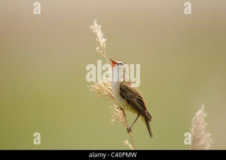 Sedge Warbler, Acrocephalus schoenobaenus, singing male, Sylviidae family, Seewinkel, lake Neusiedel, Burgenland, - Stock Photo