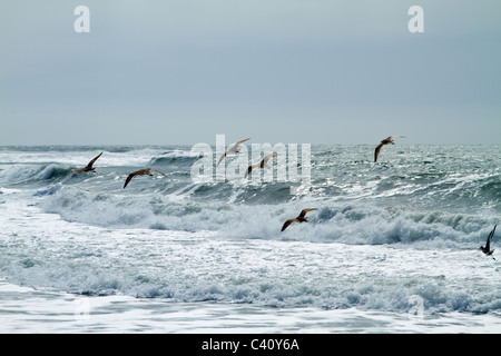 Birds in flight at Moss Landing State Beach, Pacific Ocean, Monterey County, California, USA - Stock Photo