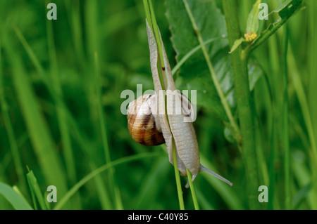 Roman snail sliding down on the grass - Stock Photo