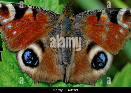 European Peacock butterfly (Inachis io) resting on leaf - Stock Photo