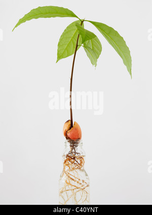 Avocado plant growing in water. - Stock Photo