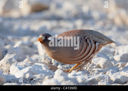 Sand Partridge (Ammoperdix heyi). Male standing on rocky ground. Israel. - Stock Photo