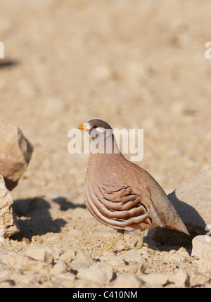 Sand Partridge (Ammoperdix heyi). Male standing on a stone. Israel. - Stock Photo