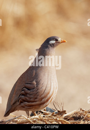 Sand Partridge (Ammoperdix heyi). Male standing on straw. Israel. - Stock Photo