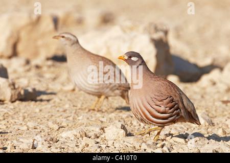 Sand Partridge (Ammoperdix heyi). Pair on rocky ground. Israel. - Stock Photo