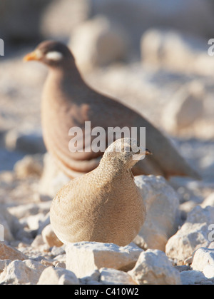 Sand Partridge (Ammoperdix heyi). Pair on rocky ground with female in foreground. Israel. - Stock Photo