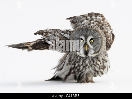 Great Grey Owl (Strix nebulosa) walking on snow. Finland. - Stock Photo