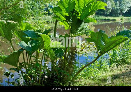 Gunnera manicata, or giant rhubarb, a native of Brazil, is an ornamental plant in the Gunneraceae family. - Stock Photo