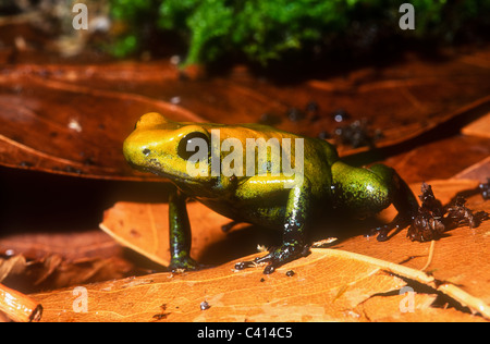 Bicoloured poison dart frog, Phyllobates bicolor, South America - Stock Photo