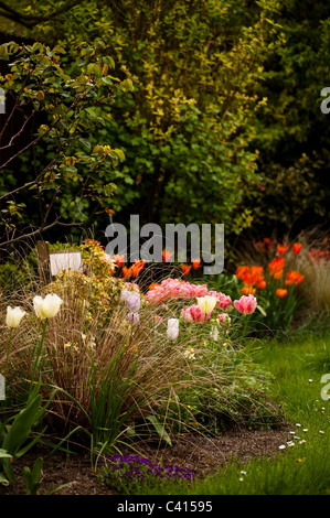 Garden border with a mixture of tulip varieties including 'Spring Green', 'Shirley' and 'Apricot Parrot' - Stock Photo