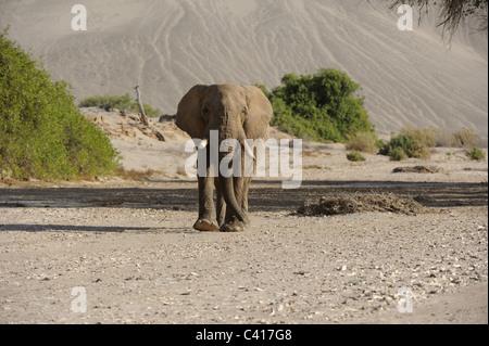 Desert Elephants, Loxodonta africana, Hoanib dry river, Namibia, Africa, January 2011 / Wüstenelefanten - Stock Photo