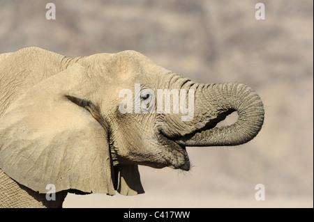 Desert Elephants, Loxodonta africana, Hoanib dry river, Namibia, Africa, January 2011 - Stock Photo
