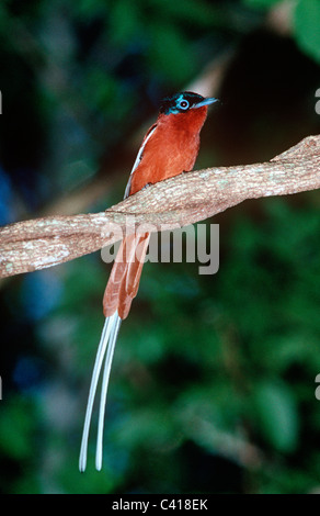 Madagascar paradise flycatcher (Terpsiphone mutata: Muscicapidae) male in rainforest, Madagascar - Stock Photo