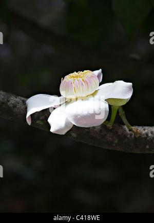 The Flower of a Gustavia Superba Tree Growing in Singapore Botanic Gardens Republic of Singapore Asia - Stock Photo