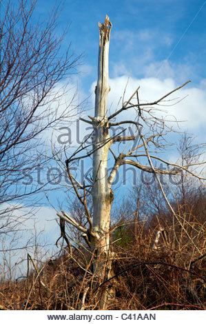 a dead and dying tree due to acid rain air pollution in woodland in south wales - Stock Photo