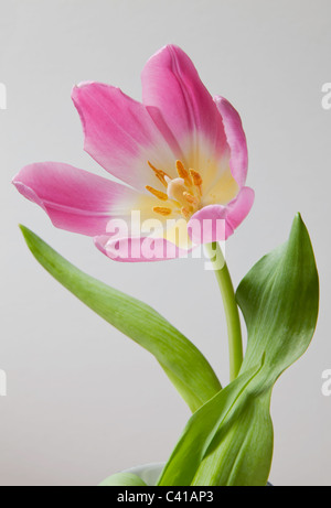Close-up of pink tulip head with opened petals , stem and green leaves. - Stock Photo