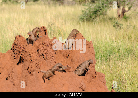 Banded Mongooses on a termite mound in Tarangire National Park, Tanzania - Stock Photo