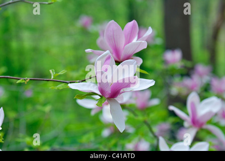 Magnolia flower with natural green background - Stock Photo
