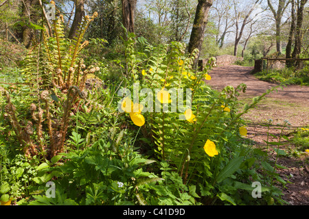 Springtime in Exmoor - yellow poppies and ferns in Horner Woods, Horner, Somerset, England UK - Stock Photo