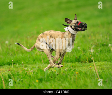 whippet racing - Stock Photo